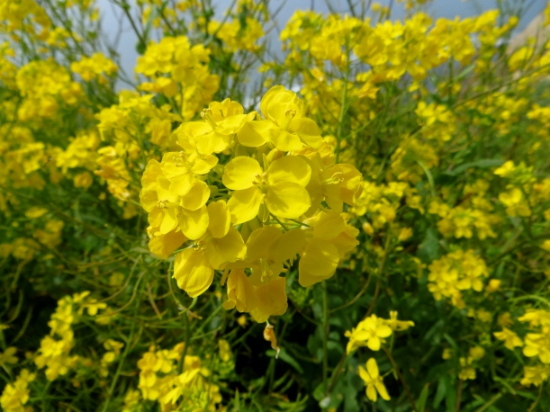 wild Mustard flower