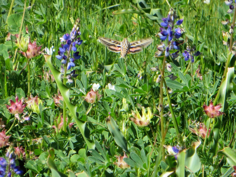 A hummingbird moth--the first I have seen!  Hovering over the wildflowers!
