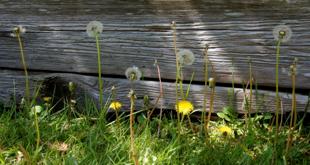 Spring Dandelion's--make your wish!