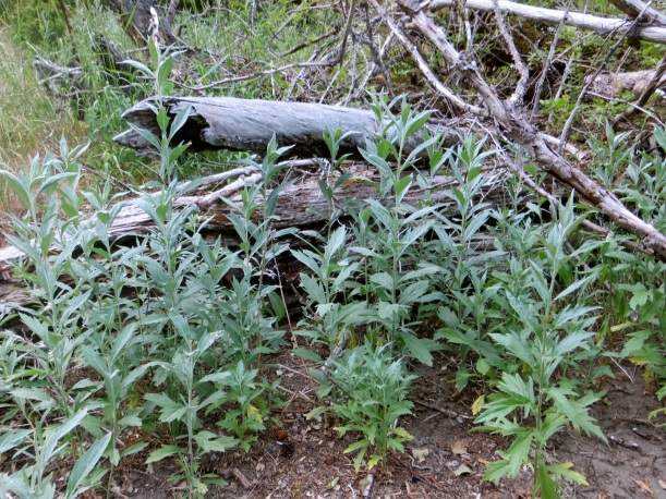 stand of California Mugwort