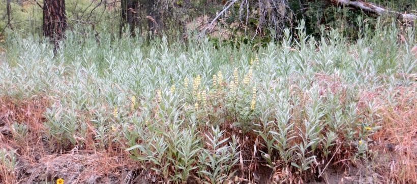 California mugwort stand with Lupine